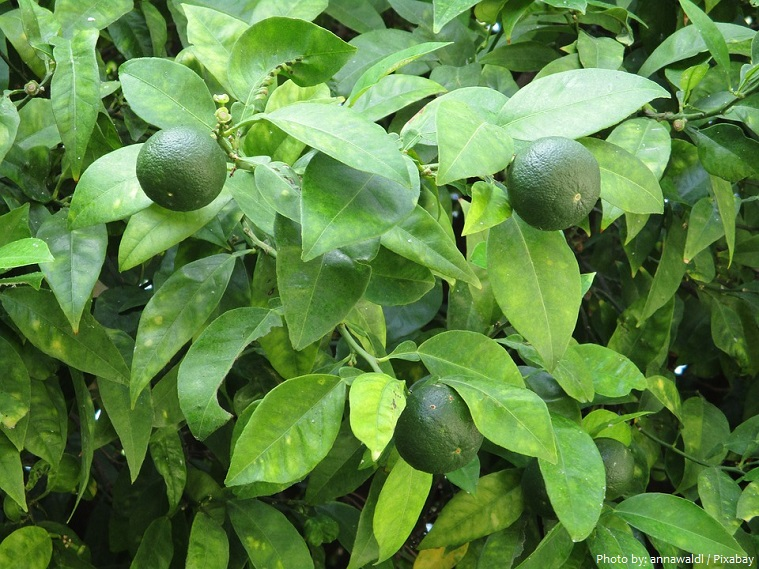 lime leaves and fruit