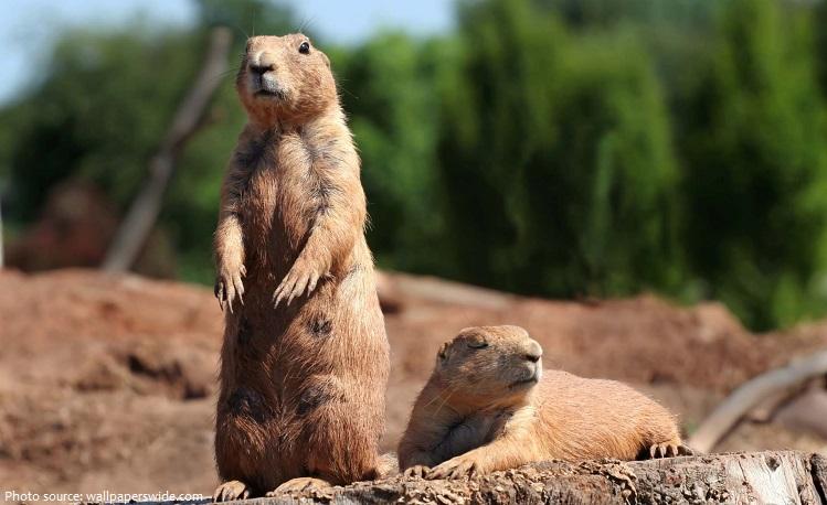 prairie-dogs-2