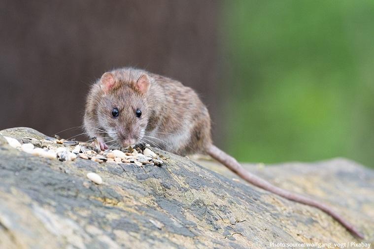 rat-eating-2