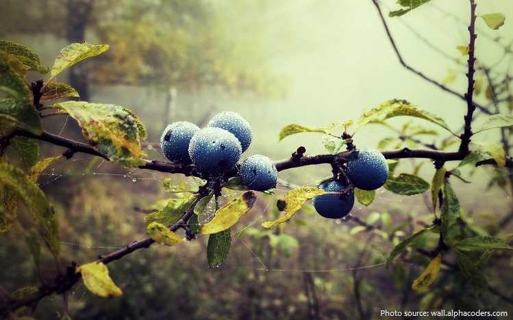 blueberries-4