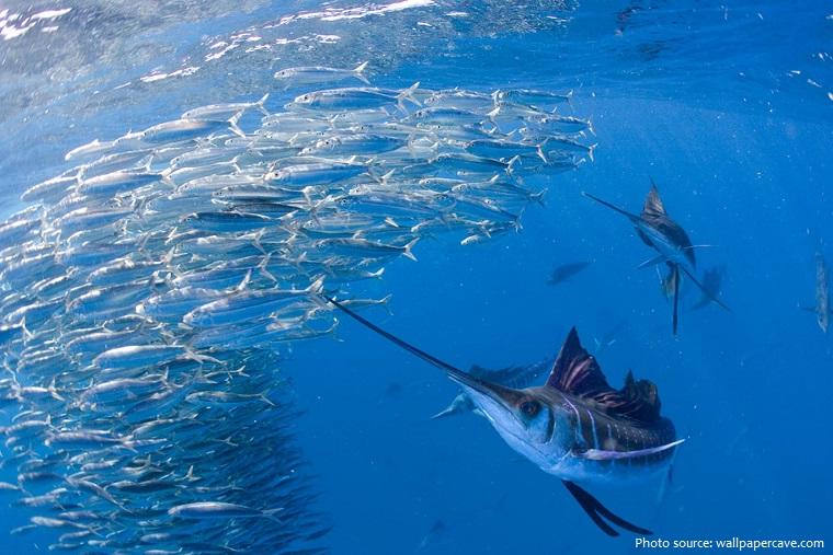 sailfish-4