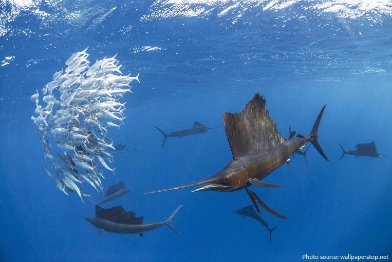 sailfish-5