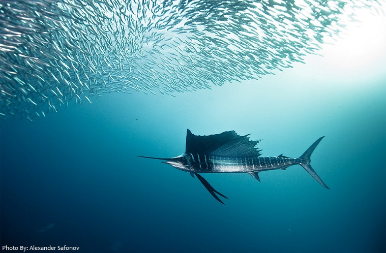 interesting facts about sailfish just fun facts