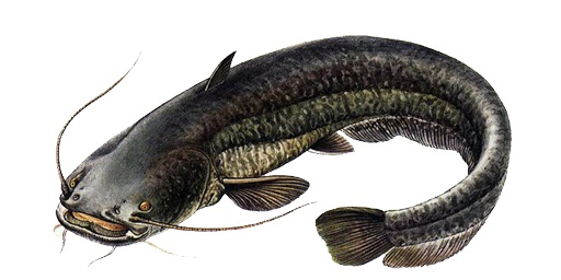 catfish-2