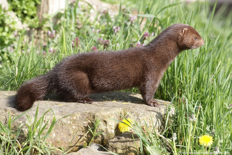 ef521428af9 Mink are very territorial animals. A male mink will not tolerate another  male within its territory, but appears to be less aggressive towards  females.