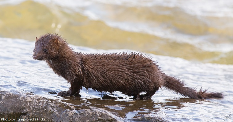 6979b8ea1cb Interesting facts about minks | Just Fun Facts