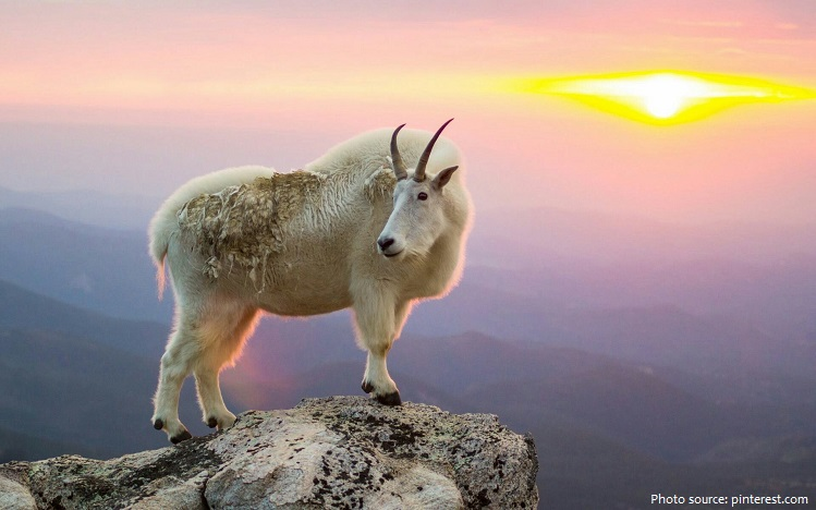 Interesting Facts About Mountain Goats Just Fun Facts