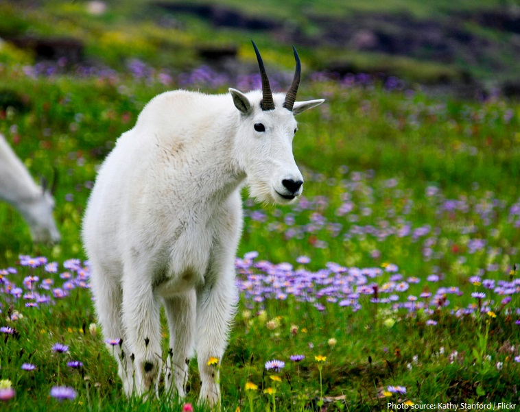 mountain-goat-4