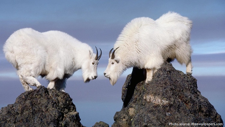 mountain-goats-2
