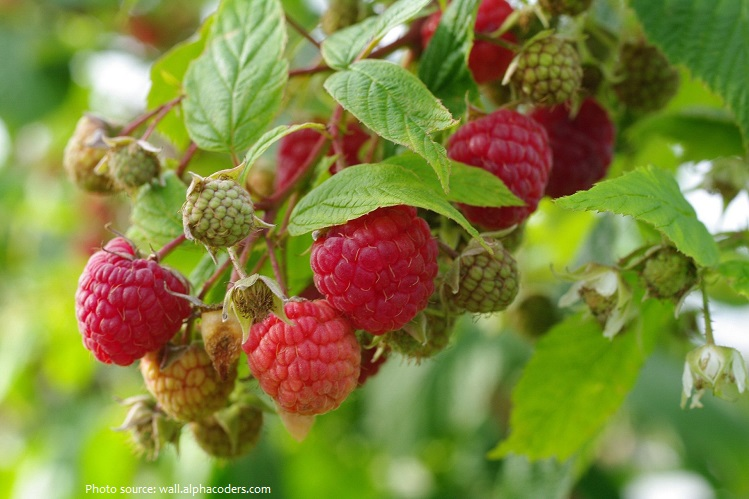 raspberries-5
