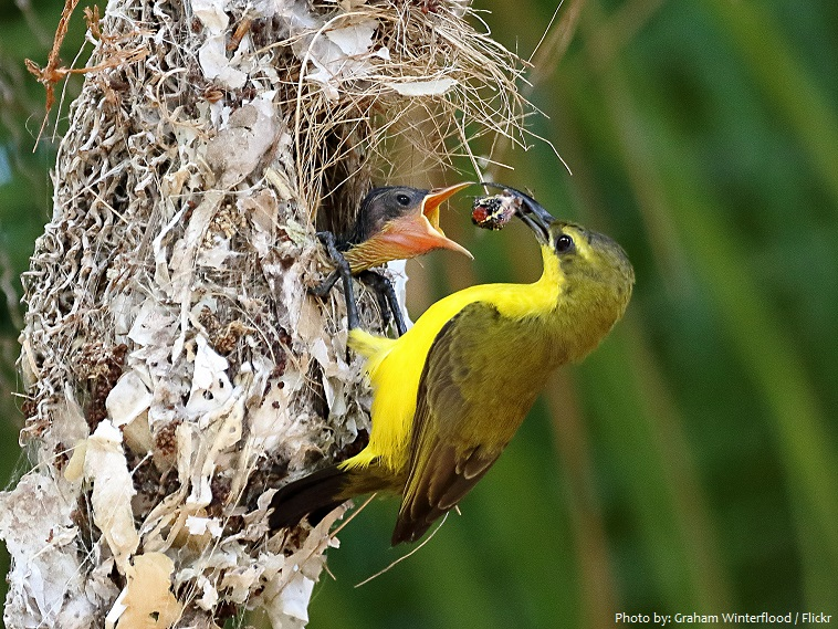 sunbirds chick nest