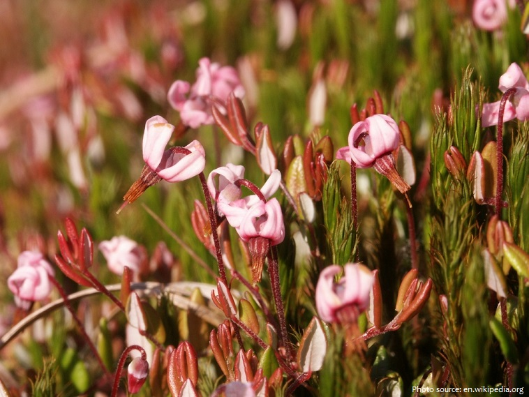 cranberry flowers