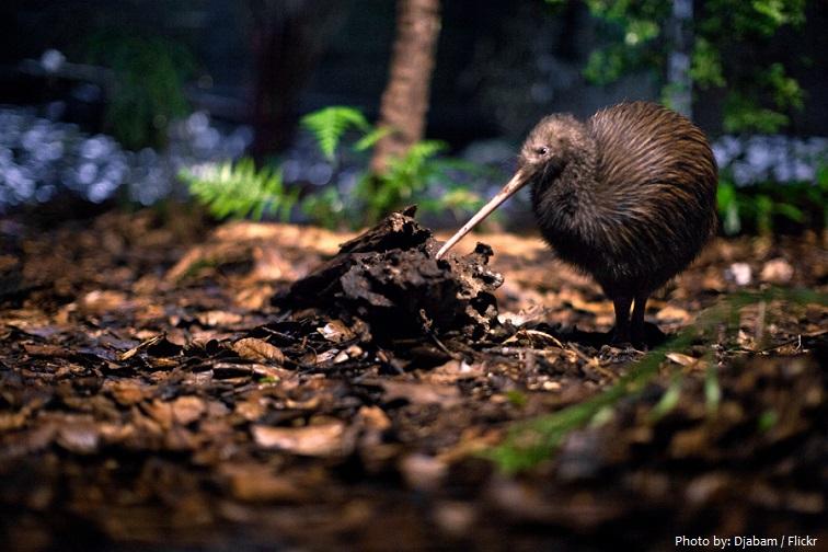 kiwi-bird-3