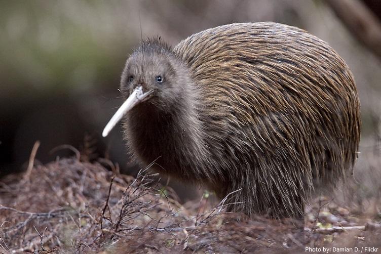 kiwi-bird-4