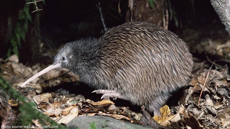 kiwi-bird-5
