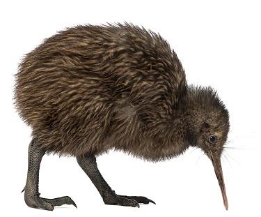 kiwi-bird-6