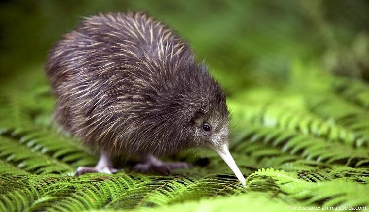 kiwi-bird