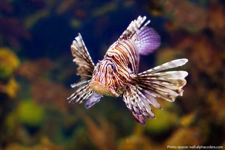 lionfish-5