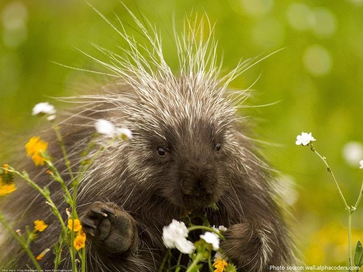 porcupine-2