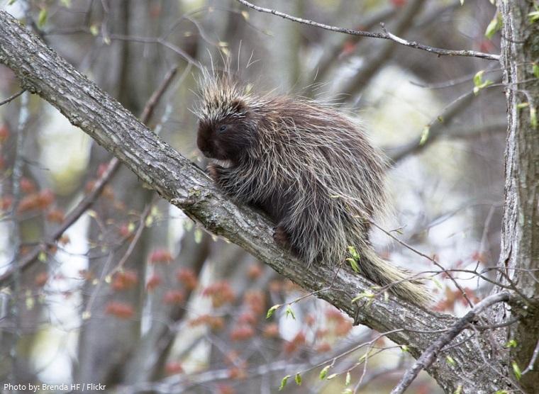 porcupine-3