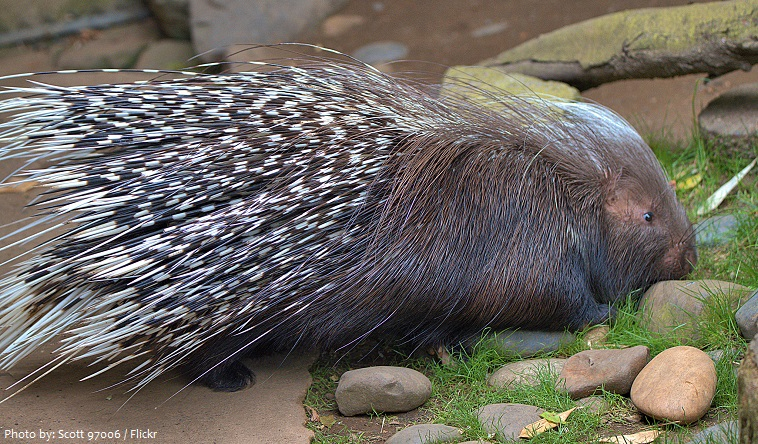 porcupine-4