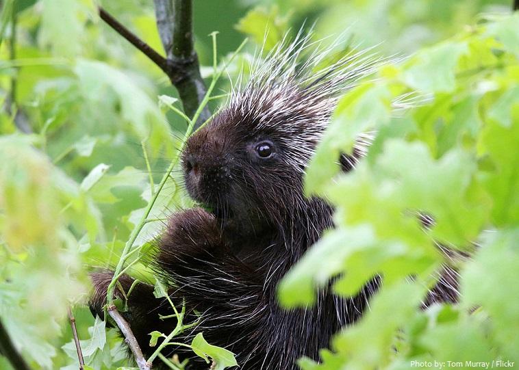 porcupine-5