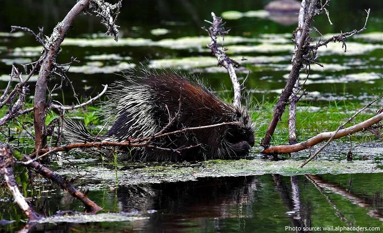 porcupine-6