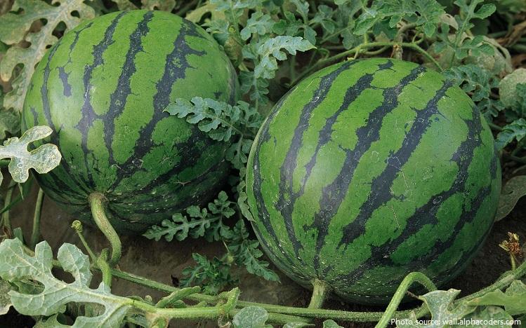 watermelon-4