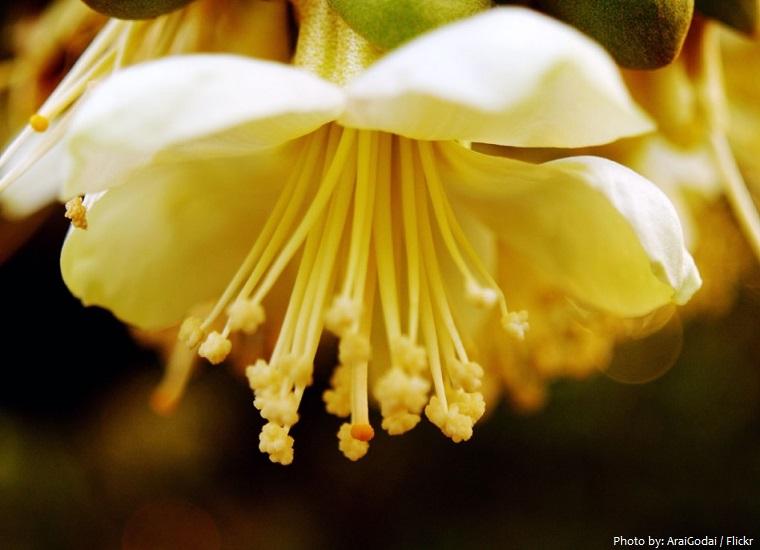 durian flower