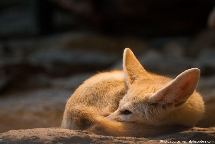 fennec-fox-2