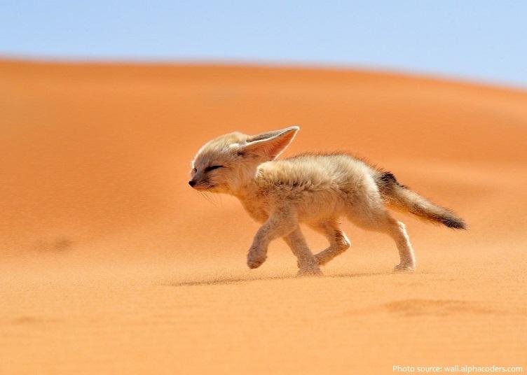 fennec-fox-3