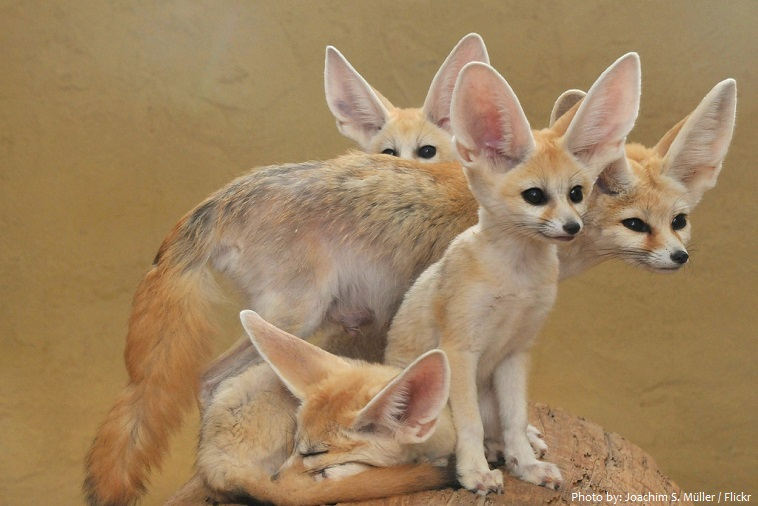 fennec-foxes-2