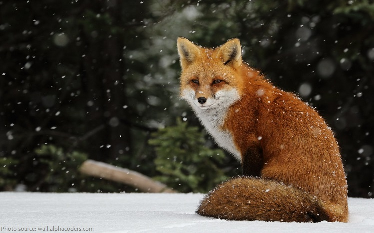 red-fox-4