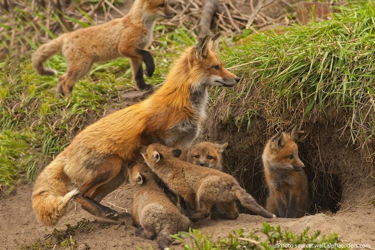 red-fox-5