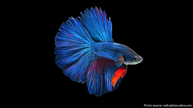 siamese-fighting-fish-2