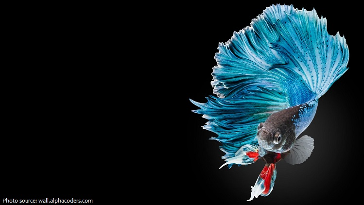 siamese-fighting-fish-3