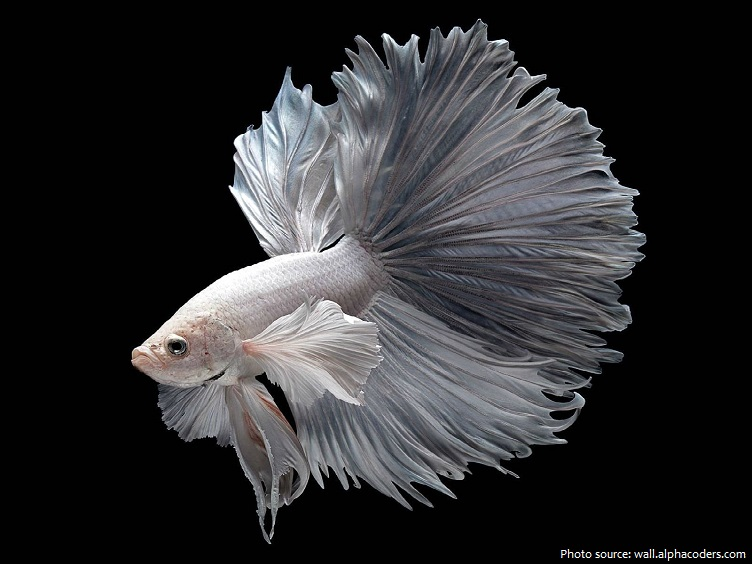 siamese-fighting-fish-4