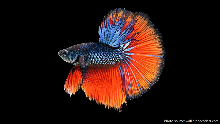siamese-fighting-fish-5