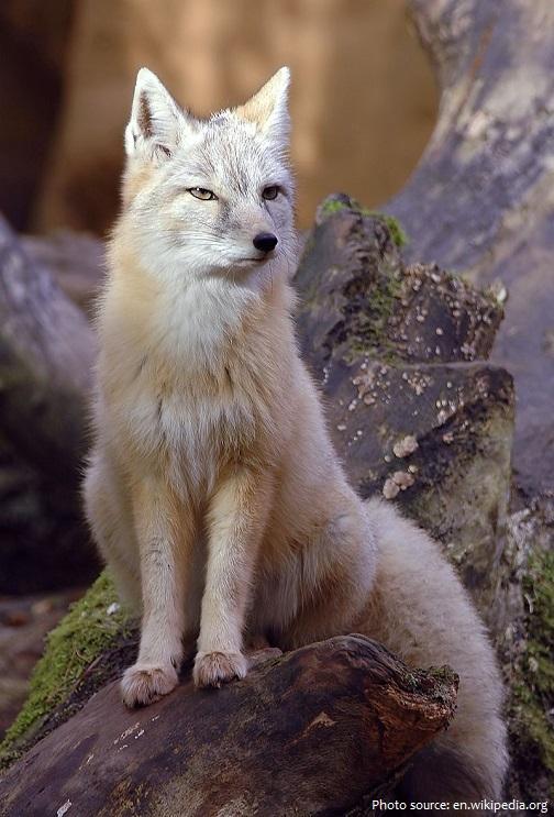 corsac-fox-2