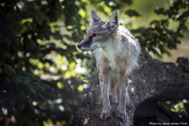 corsac-fox-4