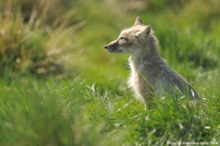 corsac-fox-5