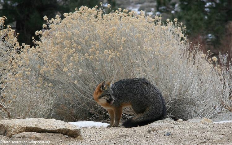 gray-fox-3