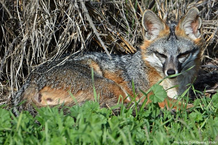 gray-fox-4