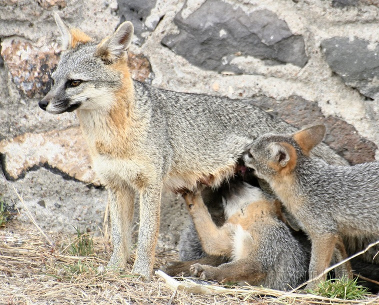 gray fox cubs