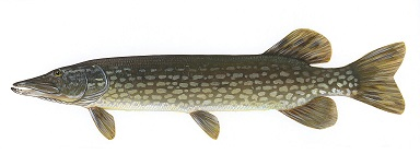 northern-pike-5