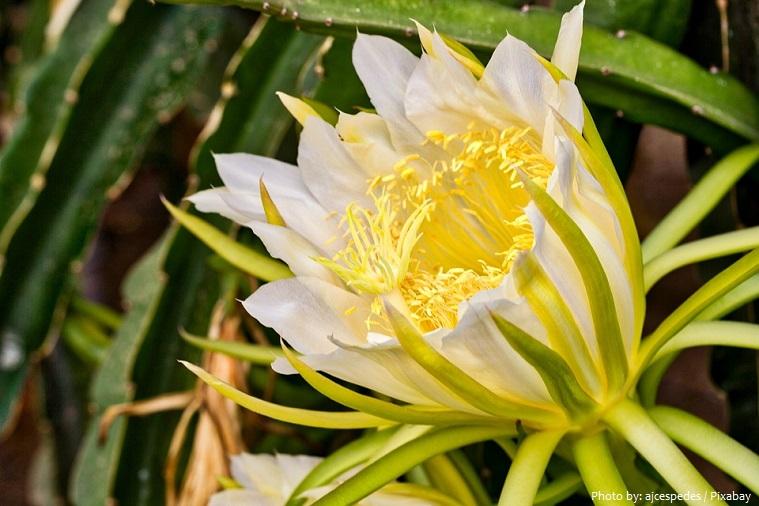 pitaya flower