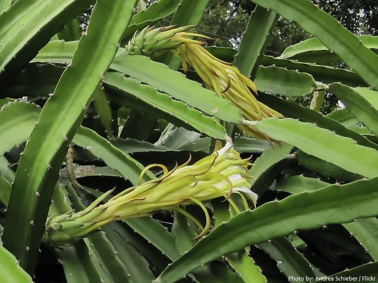pitaya plant