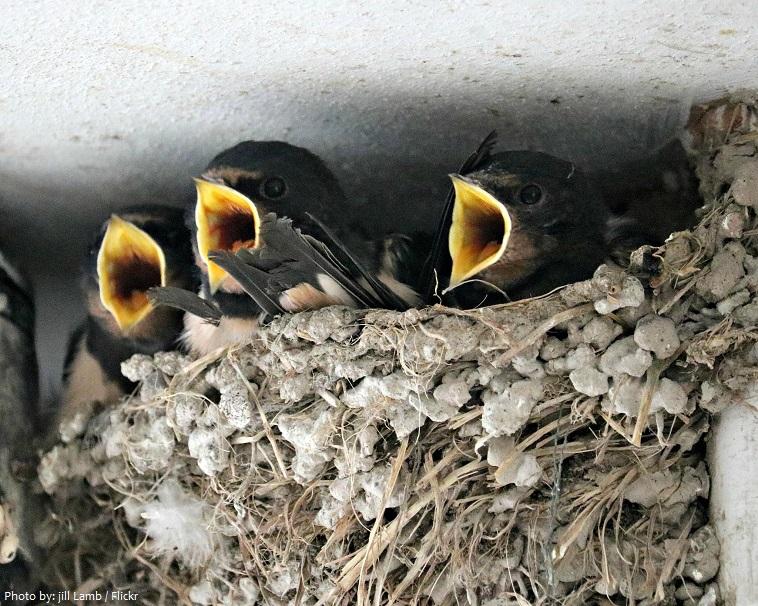 swifts-3