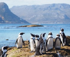 african-penguins-2