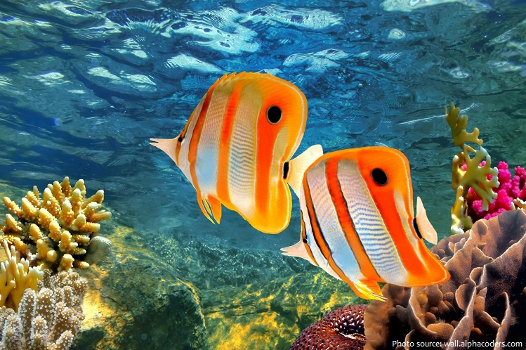 butterflyfish-2